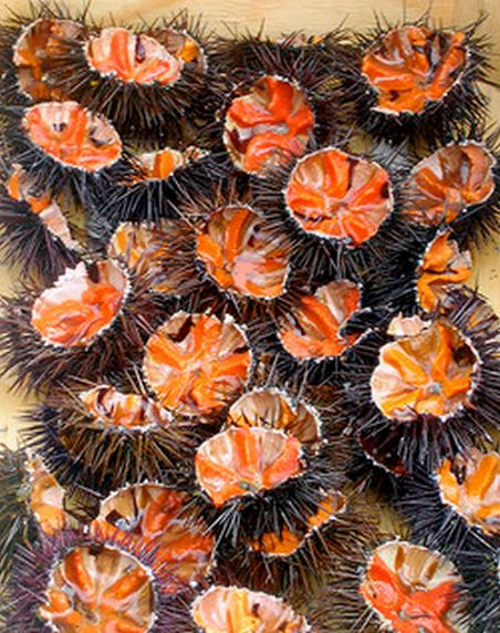 sea urchins Provence